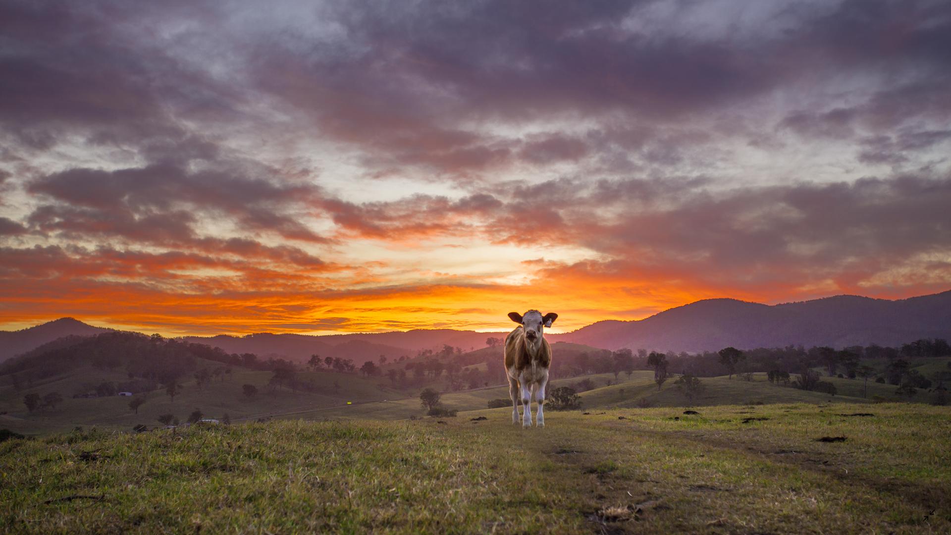 vaca bonita